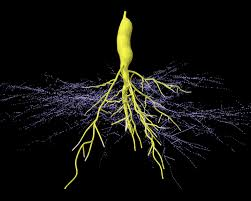 mikorrhiza