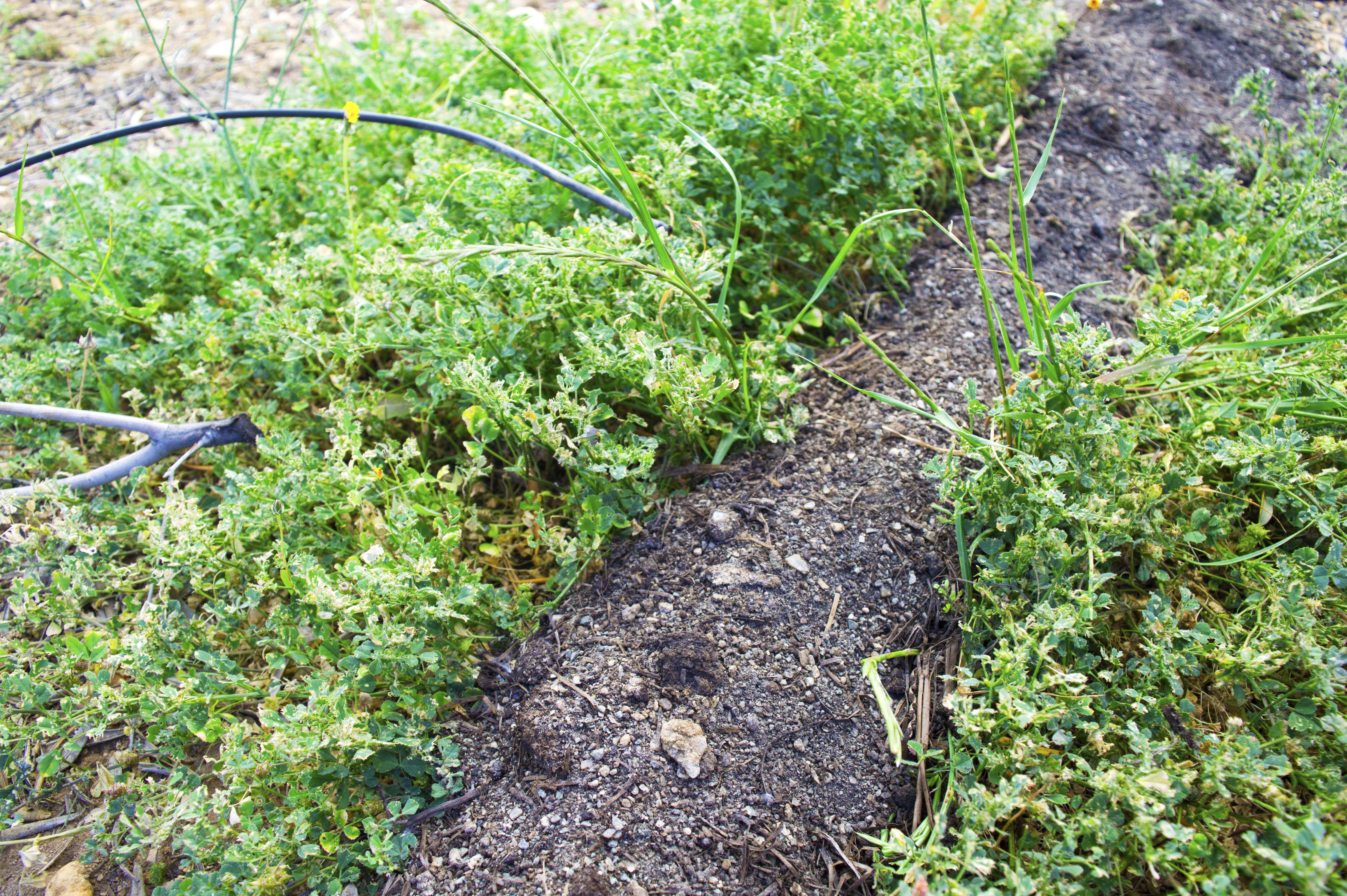 Treflis, oliven og matavfall kompost overliggende drypp vanningskanaler og dekkavlinger. Fotokreditt: Jasmine Black