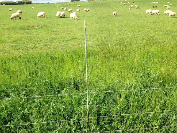 Deep-rooting grass cultivars could contribute to flood risk management